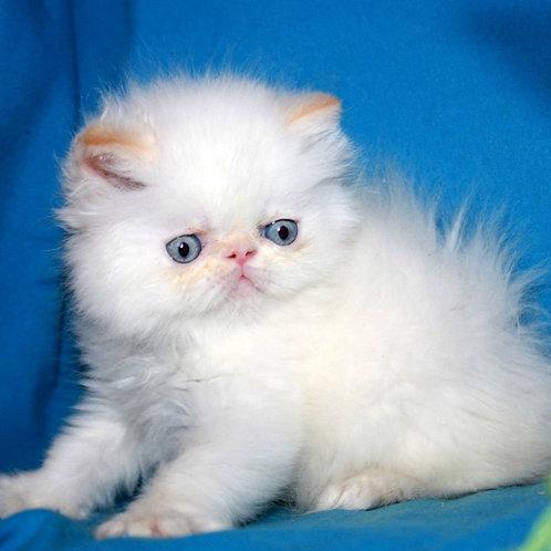 6 Lilu  Persian  female kitten