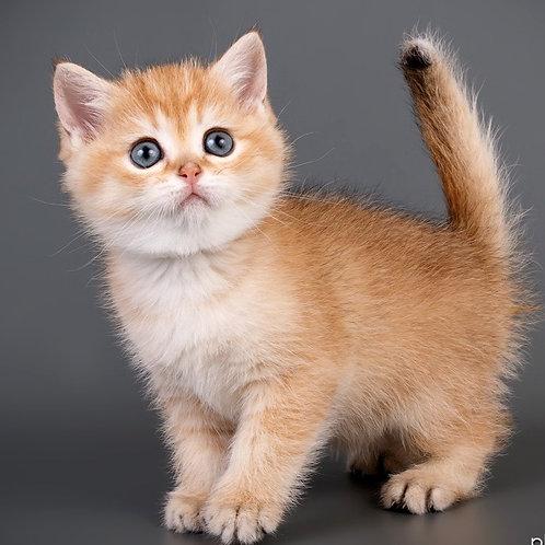 596 Kiki  British shorthair female kitten