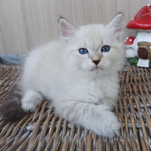 293 Tamarisk  Siberian (Neva Masquerade) male kitten