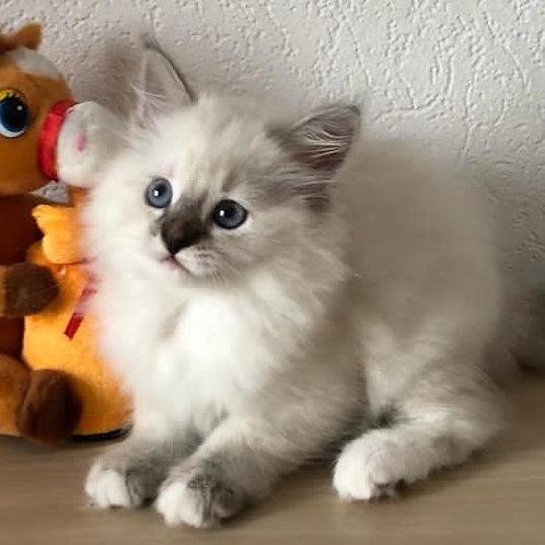 802 Cassiopeia Siberian female kitten