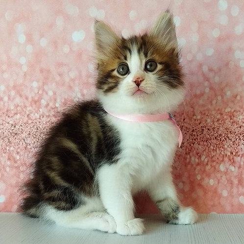 371 Nikoletta   Kurilian Bobtail female kitten