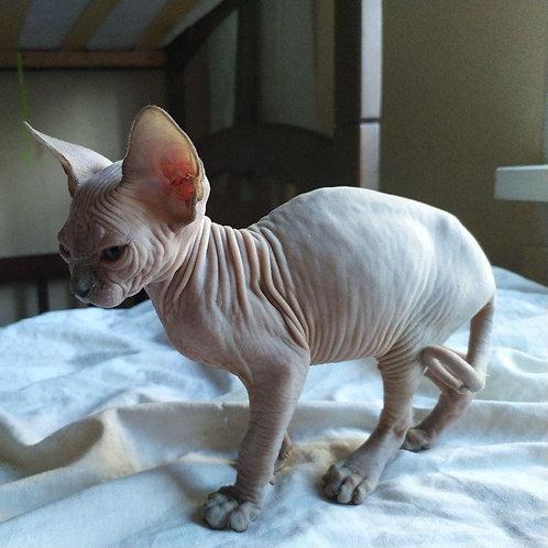 Aurora female Sphinx kitten