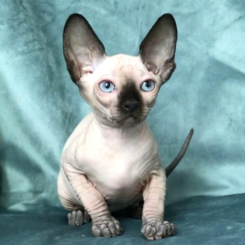 458 Betty  female Sphynx  kitten