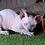 Thumbnail: 243 Easter bunny  male Sphinx kitten