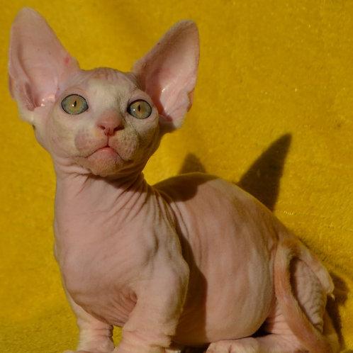 270 Colombo male Bambino  kitten