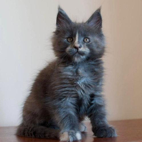 872 Jessy  Maine Coon female kitten