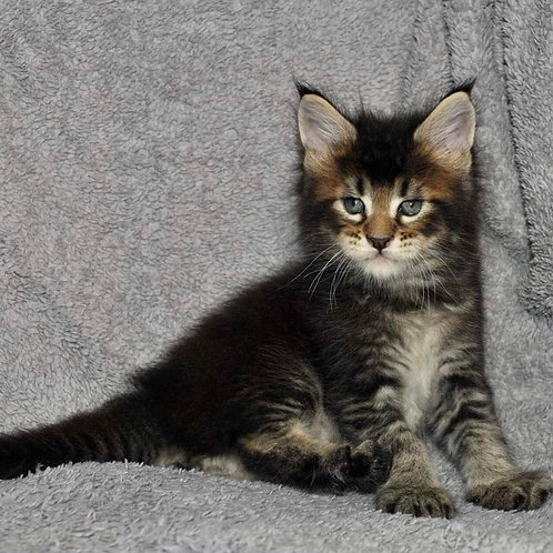 453 Tobleron  Maine Coon male kitten
