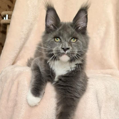 342 Land Rover     Maine Coon male kitten