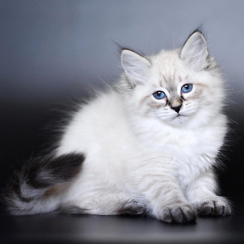 74 Dolche    Siberian male kitten