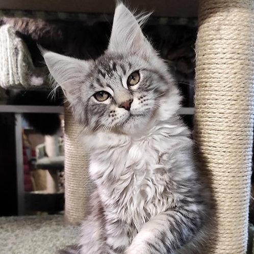 128 Richard  Maine Coon male kitten