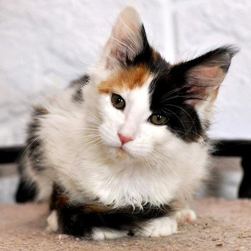 311 Eva  Maine Coon female kitten