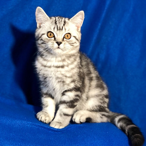 324 Benjamin    Scottish straight shorthair male kitten