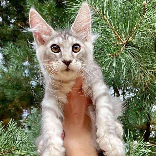762 Albina Maine Coon female kitten