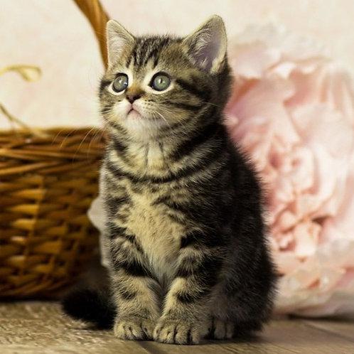906 Gideon  British shorthair male kitten