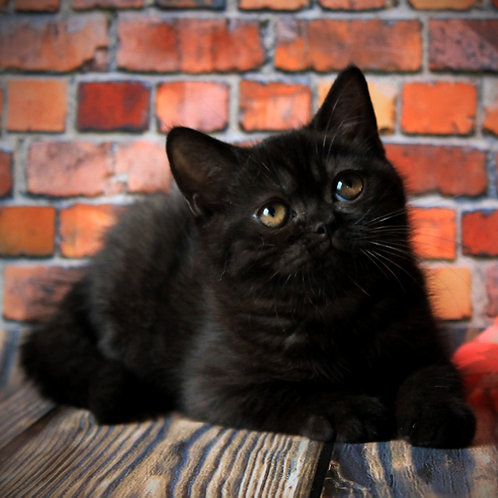 351 Malta      British shorthair female kitten