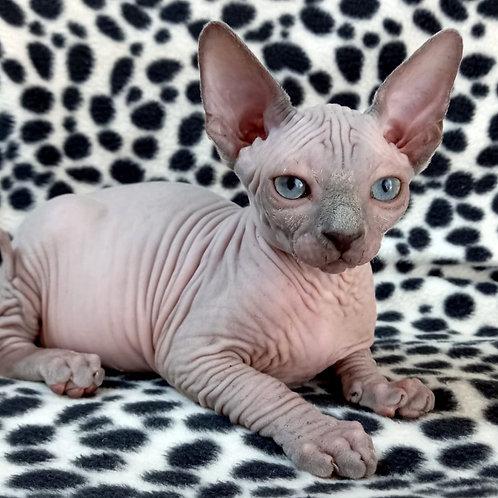 460 Silina  female Sphynx kitten