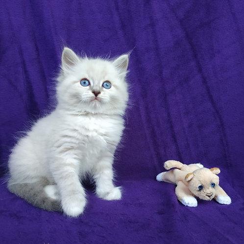 517 Ametist Siberian male kitten
