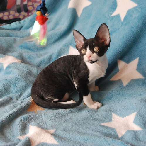 Nefertity female kitten Devon Rex