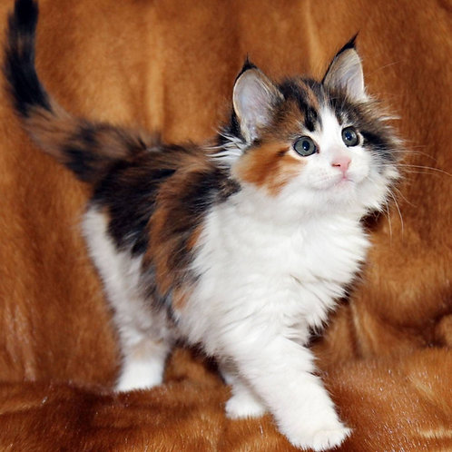 878 Diana Maine Coon female kitten