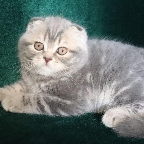 783 Bonnibell   Scottish fold shorthair female kitten