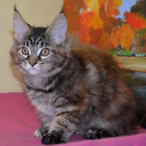 495 Gerda  Maine Coon female kitten