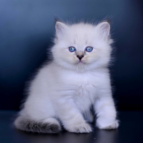 283 Askold    Siberian male kitten