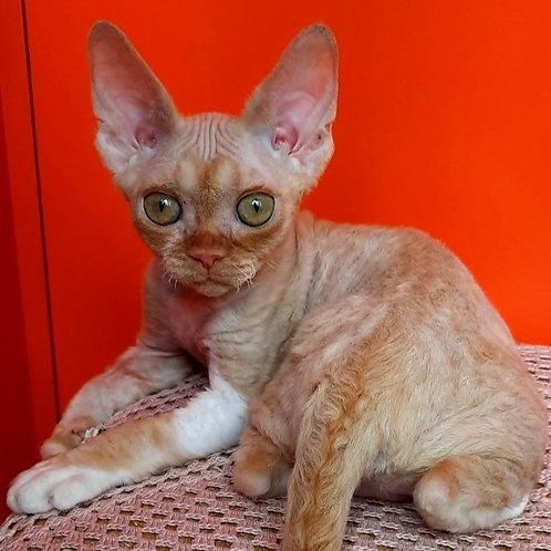 331 Alisa    female kitten Devon Rex