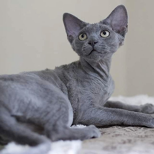 475 Harley   male Devon Rex kitten