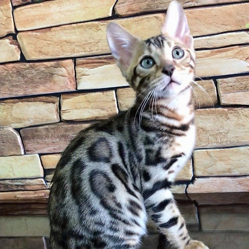105 Vostorg   purebred Bengal male kitten