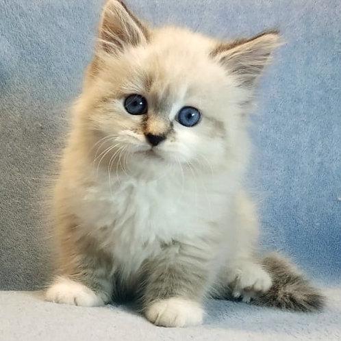 791 Xara Siberian female kitten