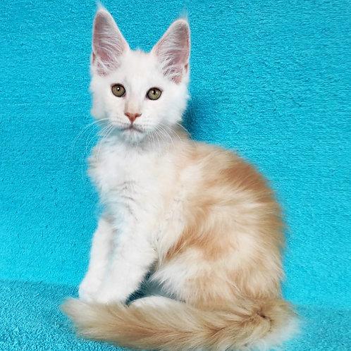 437 Luis    Maine Coon male kitten
