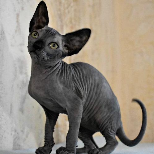 515 Sabrina  female Sphinx kitten