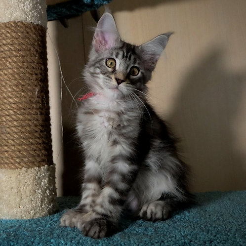 216 Cardinal polydactyl (66/66)  Maine Coon male kitten