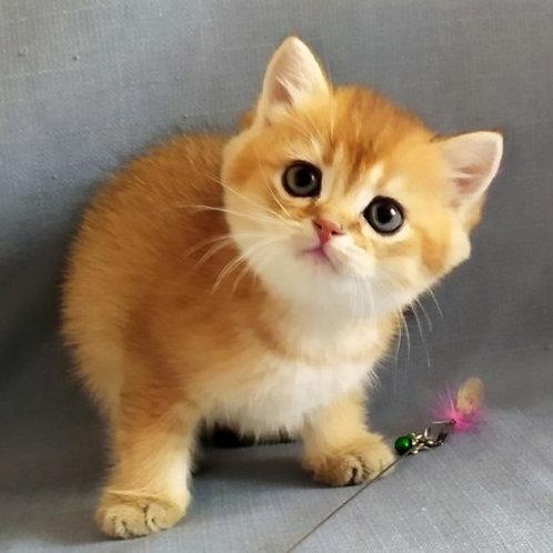 451 Prince of Persia   British shorthair male kitten