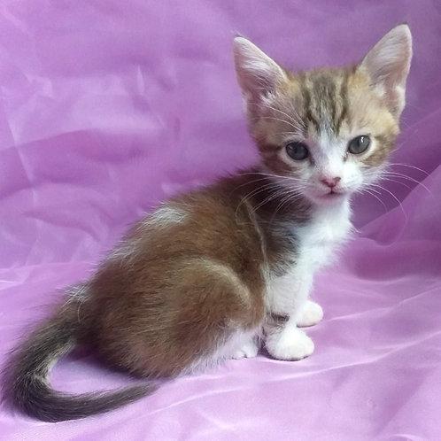 744 Karamelka     Munchkin shorthair female kitten