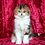 Thumbnail: 214 Lusi     Scottish fold longhair female kitten