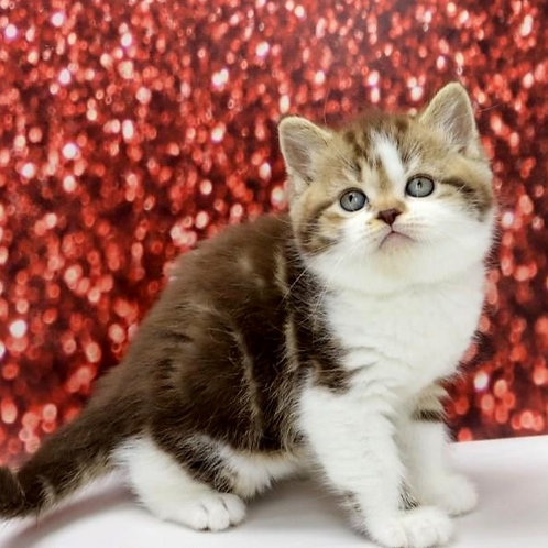 666 Cappuchino   Scottish straight shorthair male kitten
