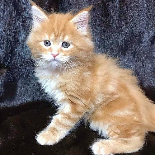 48 Nils  Maine Coon male kitten