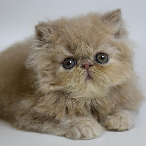 131 Gabriela   Persian  female kitten