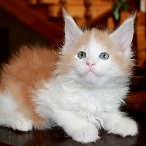 577 Baha Maine Coon male kitten