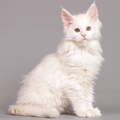 39 Juvena  Maine Coon female kitten