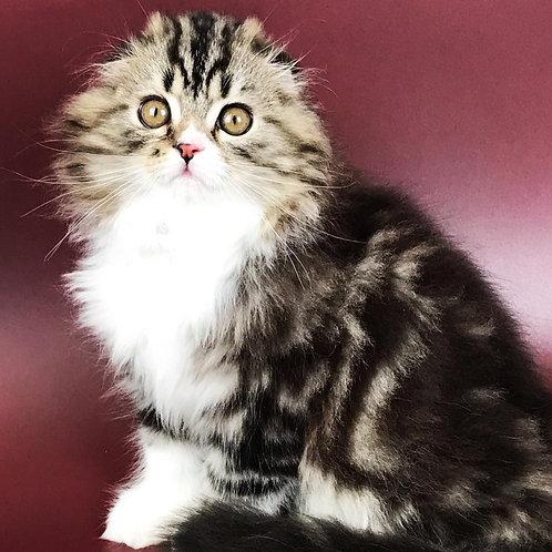 592 Zohar  Scottish fold longhair male kitten