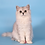 Thumbnail: 1047 Snowy  British longhair female kitten