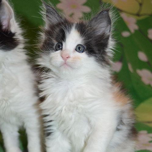 248 Brenda    Maine Coon female kitten