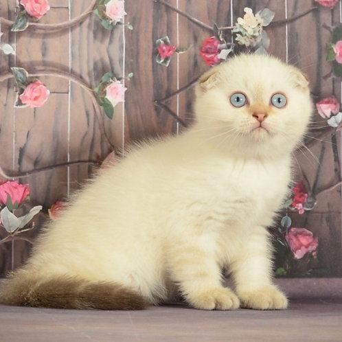 525 Adagio   Scottish fold shorthair male kitten