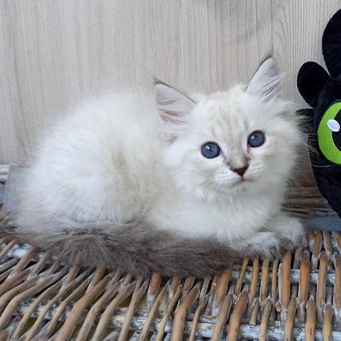 290 Tmin  Siberian (Neva Masquerade) male kitten