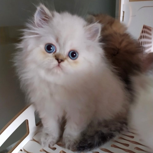 606 Usik Scottish straight longhair male kitten