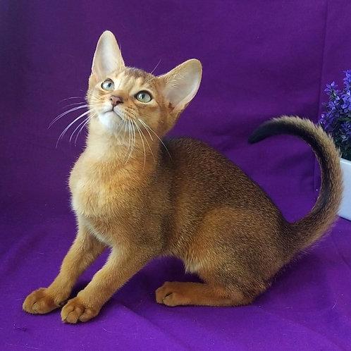 139 Evridika  purebred Abyssinian female kitten