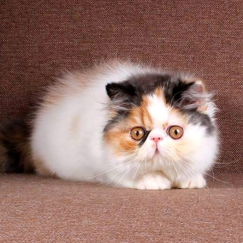 235 Bianca   Persian  female kitten