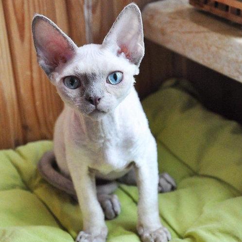 356 Grey   male kitten Devon Rex